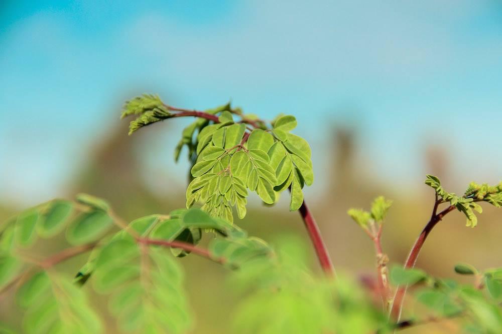 Le moringa nous aide à la lutte contre la malnutrition